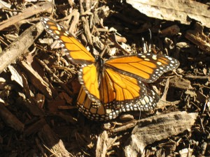 Monarch butterfly at Coronado Butterfly Preserve