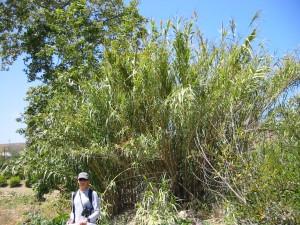 Arundo donax in Refugio Creek