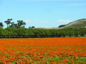 Hibbits Ranch marigolds