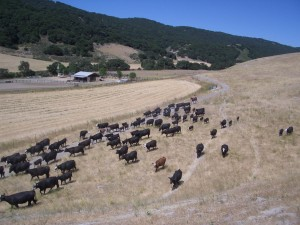 Cattle at Rancho la Purisima