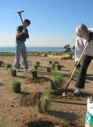 Carpinteria bluffs planting