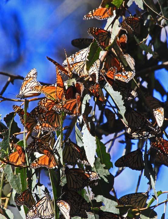 Monarchs 1x Jan 2013