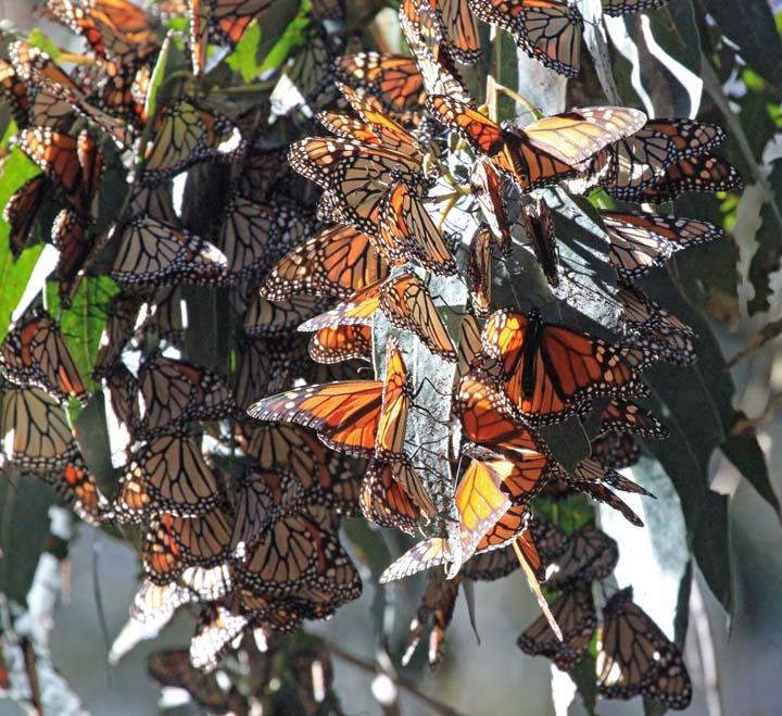 Monarchs 2x