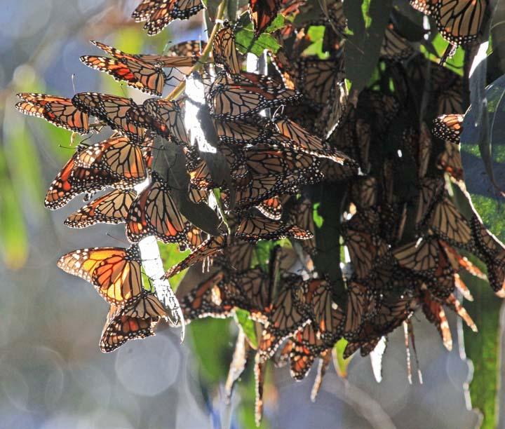 Monarchs 3x