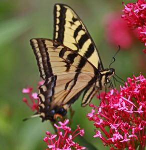 W  Tiger Swallowtail x (2)