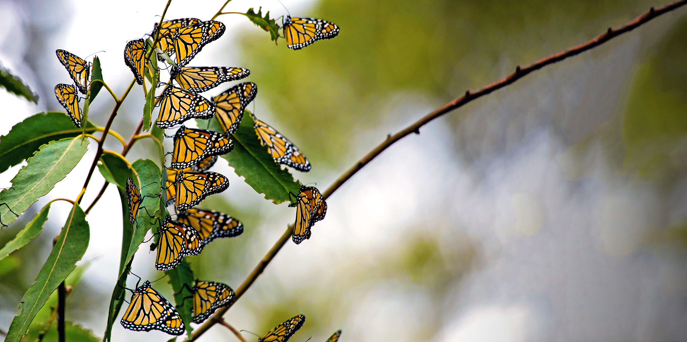 Many Monarch Butterflies (Danaus plexippus) on a tree branch. Taken near Pismo Beach in California, off the Pacific Coast Highway (SR 1).