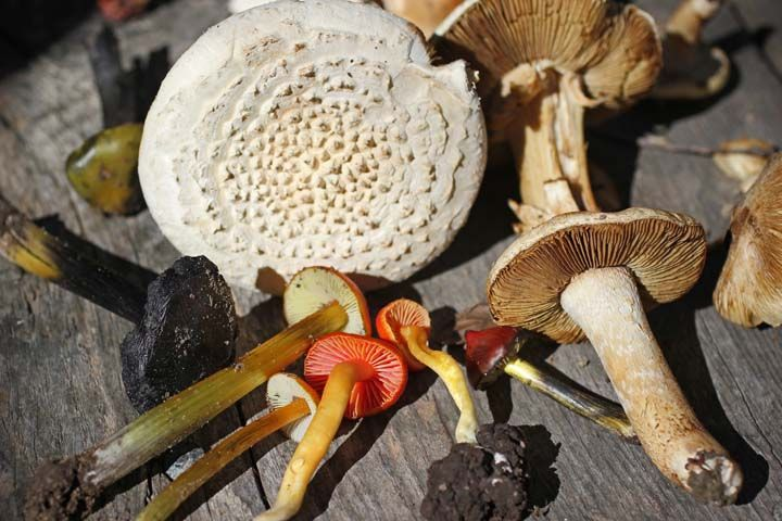 AHP-mushrooms