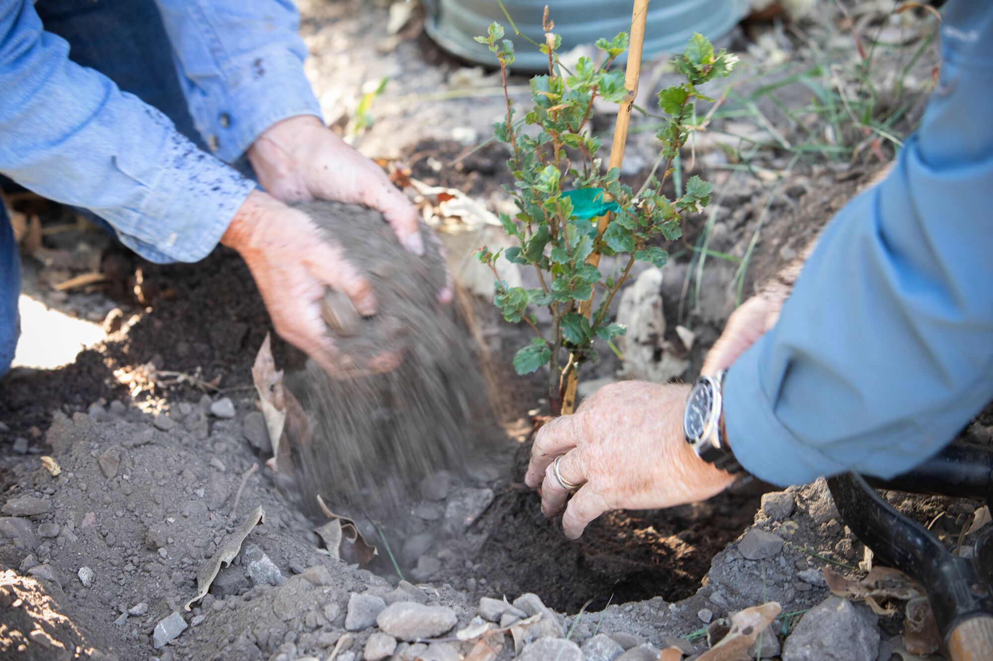 hands planting oak soil