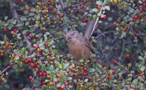 Wrentit feeding on Redberry x