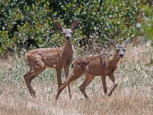 two fawns x2